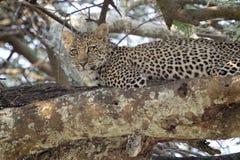Jonge luipaard op een boom Stock Afbeelding