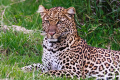 Jonge luipaard van Nakuru kenia royalty-vrije stock foto
