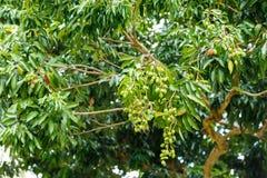 Jonge lychee op boom Stock Afbeelding