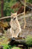 Jonge lynx Stock Foto
