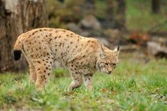 Jonge lynx Royalty-vrije Stock Foto's