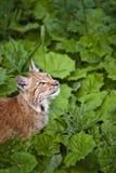 Jonge lynx Stock Fotografie