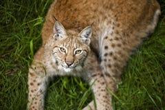Jonge lynx Royalty-vrije Stock Afbeelding
