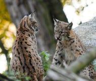 Jonge Lynx Stock Foto's