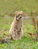 Jonge lynx Royalty-vrije Stock Afbeeldingen