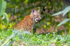 Jonge lynx Stock Afbeelding