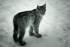 Jonge lynx in de sneeuw Stock Afbeeldingen