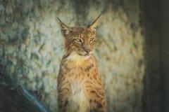 Jonge lynx op een gele achtergrond Stock Fotografie