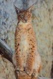 Jonge lynxzitting op boomtak Stock Afbeelding