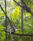 Jonge Macaque in Aapbos, Ubud Stock Fotografie