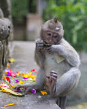 Jonge Macaque in Aapbos, Ubud Royalty-vrije Stock Foto