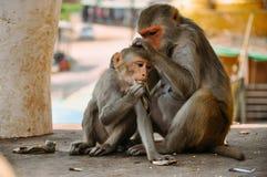 2 jonge Macaque-apen die dichtbij Onderstel Popa verzorgen royalty-vrije stock foto's