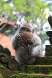 Jonge macaqueaap die van een cocnut geniet stock fotografie