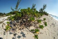 Jonge Manchineel-boom op zandig strand Royalty-vrije Stock Afbeelding