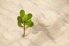 Jonge mangrovebomen Royalty-vrije Stock Afbeeldingen
