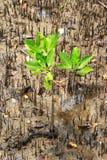 Jonge mangroven in het mangrovenbos Royalty-vrije Stock Fotografie