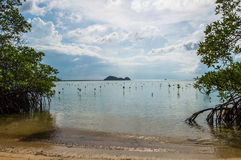 Jonge Mangroven van de Kust van Koh Pha Ngan, Thailand Stock Foto's