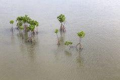 Jonge mangrovenboom Royalty-vrije Stock Foto's