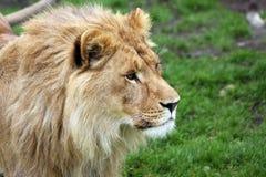 Jonge mannelijke Afrikaanse leeuw Stock Fotografie