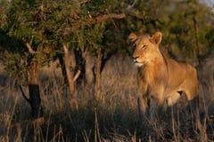 Jonge mannelijke en leeuw die linker bevinden zich kijken royalty-vrije stock foto's