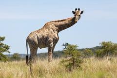 Jonge Mannelijke Giraf Stock Afbeelding