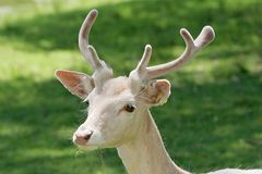 Jonge mannelijke herten royalty-vrije stock fotografie