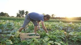 Jonge mannelijke landbouwer het plukken komkommer bij organisch ecolandbouwbedrijf stock videobeelden