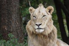 Jonge Mannelijke Leeuw Stock Foto's