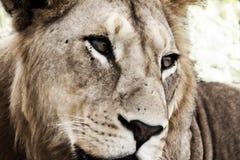 Jonge mannelijke leeuw (artistieke verwerking) Royalty-vrije Stock Foto's