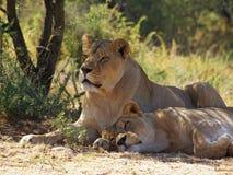 Jonge mannelijke leeuw en leeuwin die in schaduw rusten Royalty-vrije Stock Foto