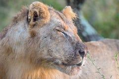Jonge Mannelijke Leeuw in het Nationale Park van Kruger Stock Afbeelding