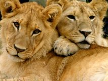 Jonge mannelijke leeuwbroers Stock Afbeelding