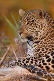 Jonge mannelijke luipaard bij zonsondergang op een gevallen tak Stock Foto's