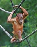 Jonge mannelijke Orangoetan Stock Foto