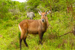 Jonge Mannelijke Waterbuck in de Savanne Royalty-vrije Stock Afbeelding