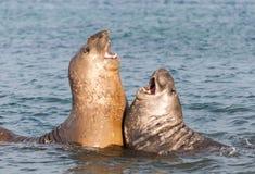 Jonge mannelijke Zuidelijke Olifantsverbindingen die in de oceaan, Davis Station, Antarctica vechten stock fotografie
