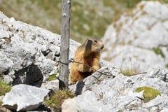 Jonge marmot Royalty-vrije Stock Afbeelding