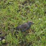 Jonge mavis op een achtergrond van gras royalty-vrije stock fotografie