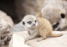 Jonge meerkat Royalty-vrije Stock Afbeelding