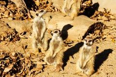 Jonge Meerkat Royalty-vrije Stock Afbeeldingen