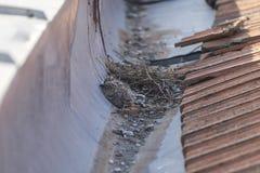 Jonge meeuwen in het nest Stock Fotografie