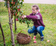 Jonge meisje het plukken appelen Royalty-vrije Stock Foto