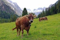 Jonge melkkoeien in de bergen stock afbeeldingen