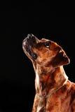 Jonge mengen-ras/bokserhond die omhoog op zwarte achtergrond kijken Stock Afbeeldingen
