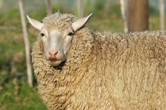 Jonge merinosschapen met lange wol royalty-vrije stock afbeelding
