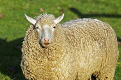 Jonge merinosschapen met lange wol royalty-vrije stock fotografie