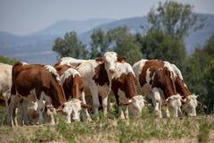 Jonge Montbeliarde-koeien met kleine hoornen die op een rij weiden stock foto's