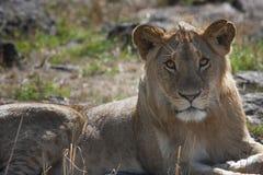 Jonge, mooie leeuwin die in de savanne liggen en in het oog kijken stock afbeeldingen