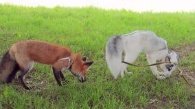 Jonge mooie vossen openluchtlooppas in park in de zomerclose-up stock footage