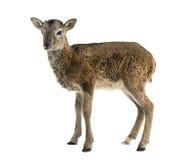 Jonge mouflon - Ovis-orientalisorientalis Stock Foto